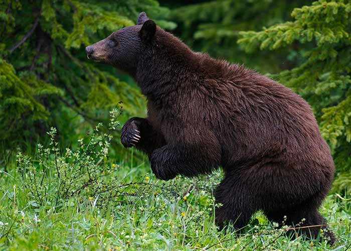 A picture of a brown bear foraging for food in the forest