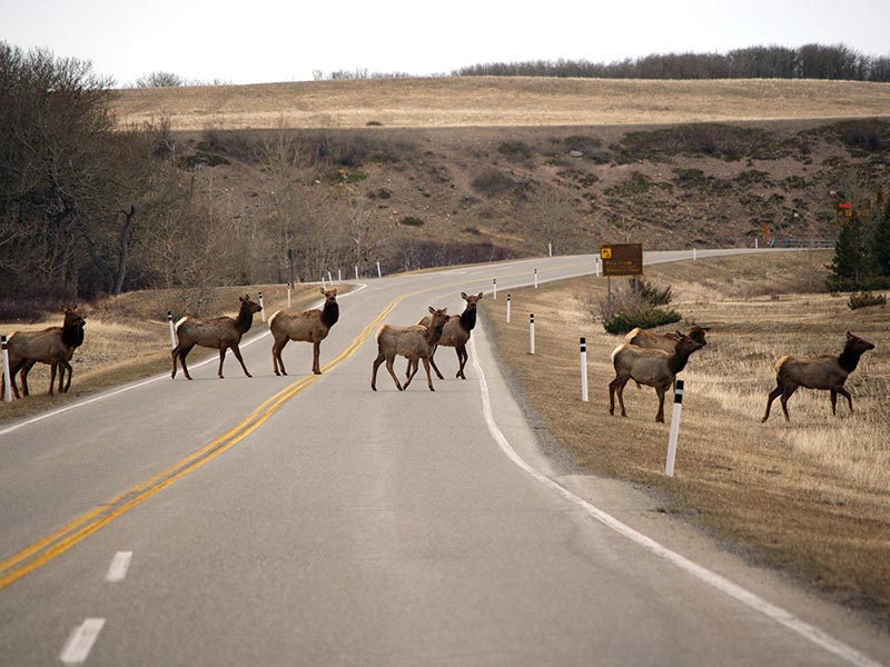 A photo of a herd of Elk crossing the highway