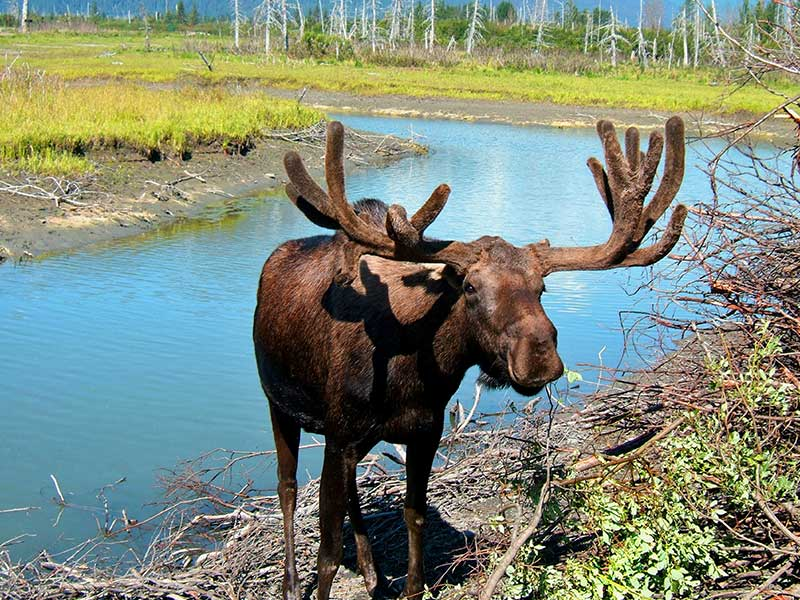 A photo of a Moose wading out of water